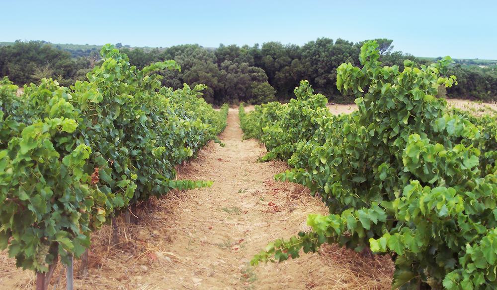 Domaine Moulin-Tacussel - Les vignes